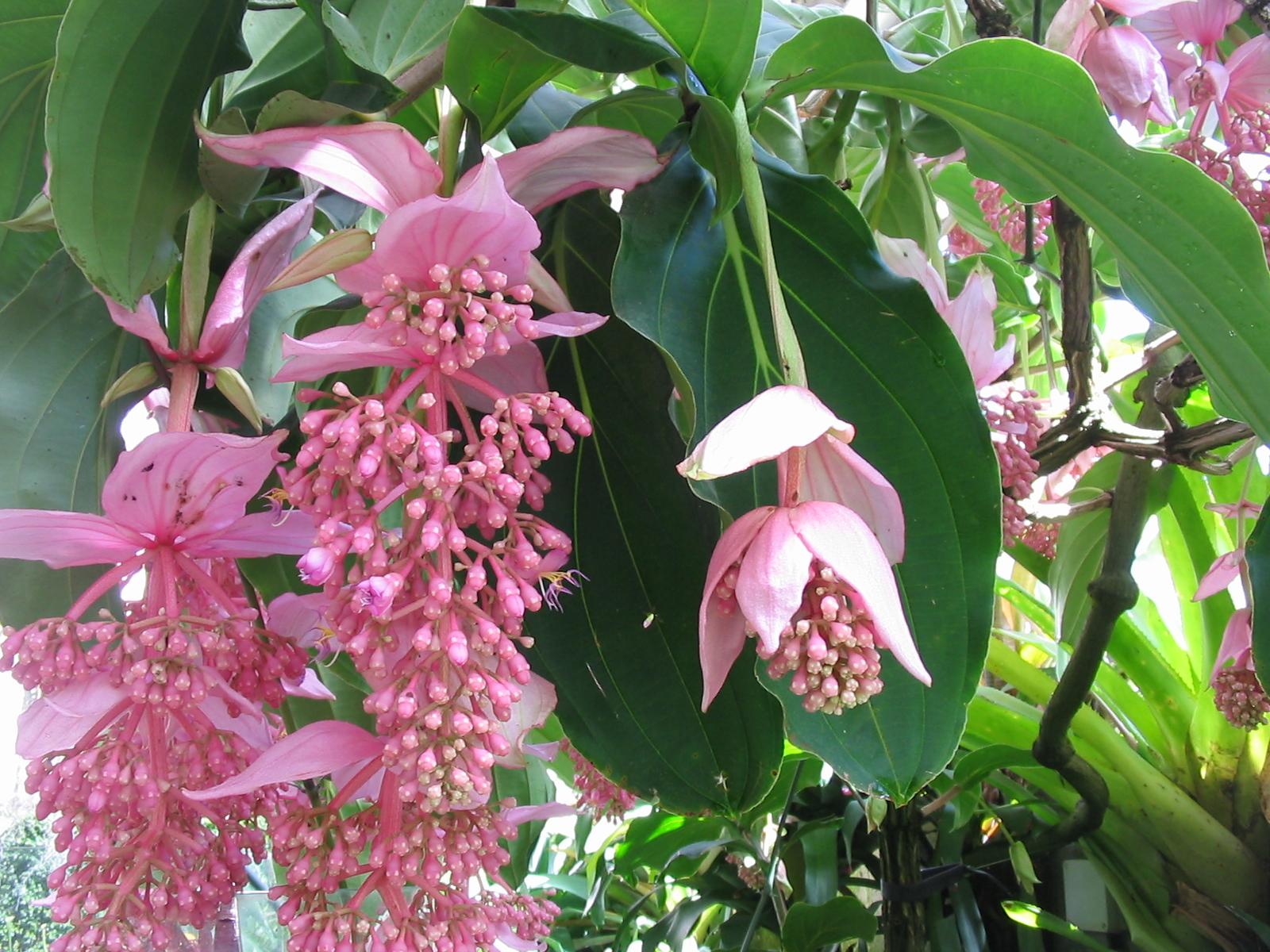Medinilla_magnifica_en fleur