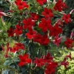 SunParasol Pretty Crimson on trellis