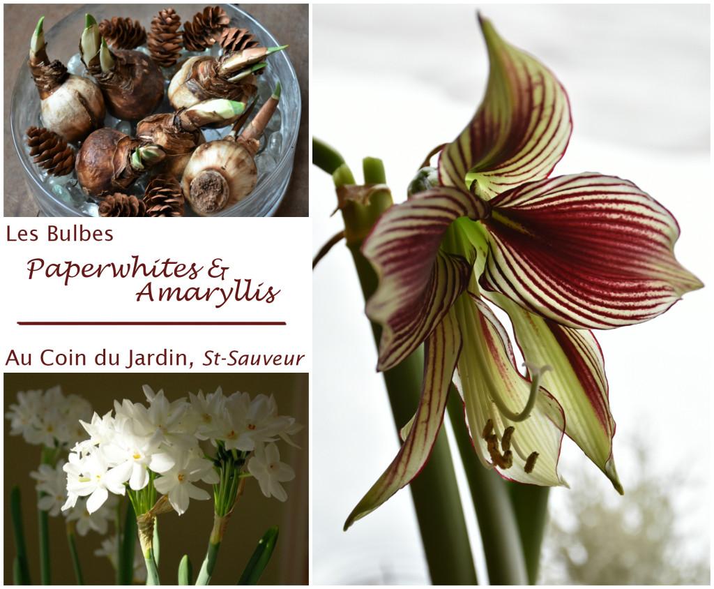 Bulbes d int rieurs centre de jardin p pini re for Arrosage des bulbes